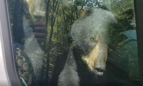 Gấu con mắc kẹt trong xe tải bấm còi cầu cứu