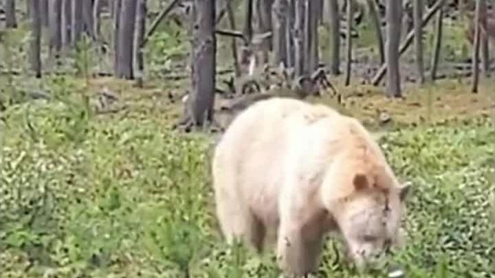 'Gấu thần linh' quý hiếm xuất hiện ở Canada