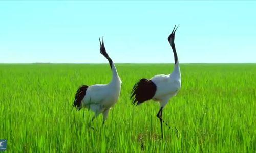 Loài chim biểu tượng cho lòng trung thành và sự trường thọ