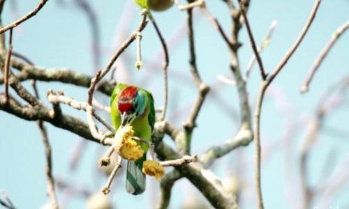 Chim gõ mõ lợi dụng sáo nâu để kiếm mồi