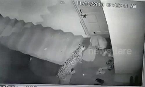 Báo hoa mai 'cướp' chó trước cửa nhà dân