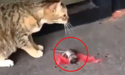 Chuột giả vờ chết để thoát khỏi mèo