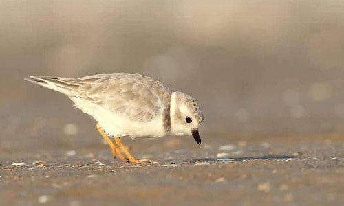 Kỹ thuật độc đáo giúp chim choi choi bắt mồi dưới cát