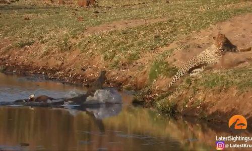 Cá sấu chồm lên dọa báo hoa mai lùi bước