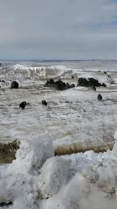 Bò bison tái xuất tại 'vùng đất tổ tiên' sau hơn 140 năm