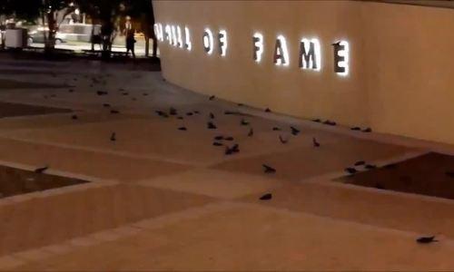 Hơn 300 con chim đâm vào bảo tàng Mỹ