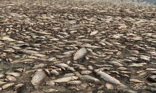 Hàng nghìn con cá chép chết khô do hồ cạn nước
