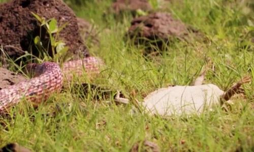 Thằn lằn giả chết để đánh lừa rắn