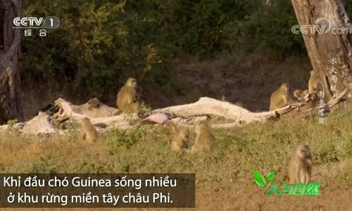 Khỉ đầu chó chấp nhận đòn của cò Lạo để kiếm ăn