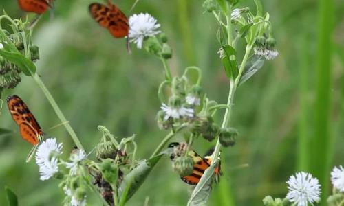 Loài bướm chuyên hút mật hoa độc để đối phó với kẻ thù