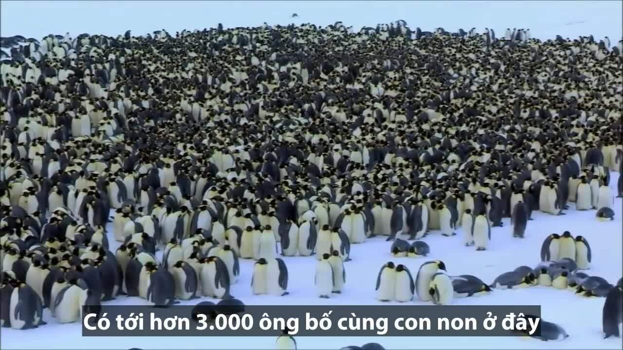 Bố con cánh cụt xếp hàng để tìm gặp chim mẹ