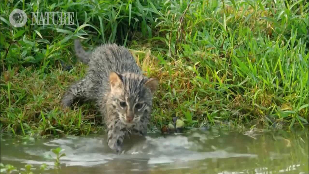 Mèo mẹ lần đầu dạy con săn cá