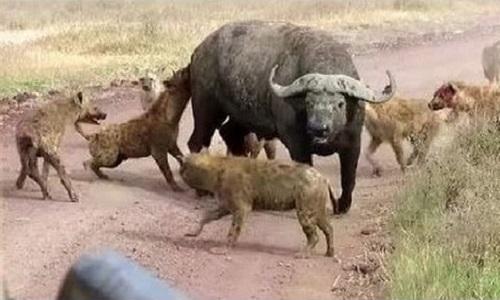 Động vật săn mồi thành công nhất châu Phi
