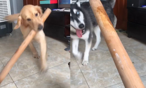 Chó đưa gậy cho cô chủ đánh bạn cùng nhà