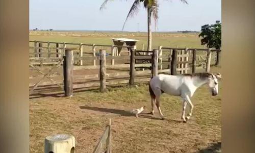 Gà trống lao vào đánh nhau với ngựa