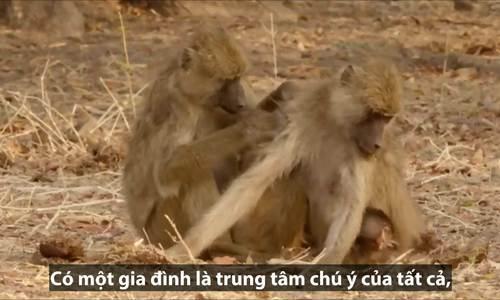 Khỉ 'hoàng tộc' từ chối chơi với tầng lớp thấp