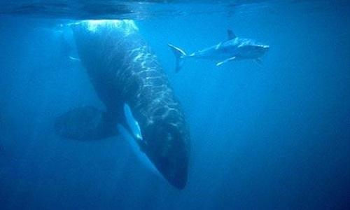 Cá voi cá thủ truy sát cá mập trắng