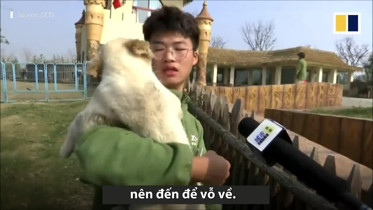 Đàn sư tử con hoảng sợ khi gặp lợn