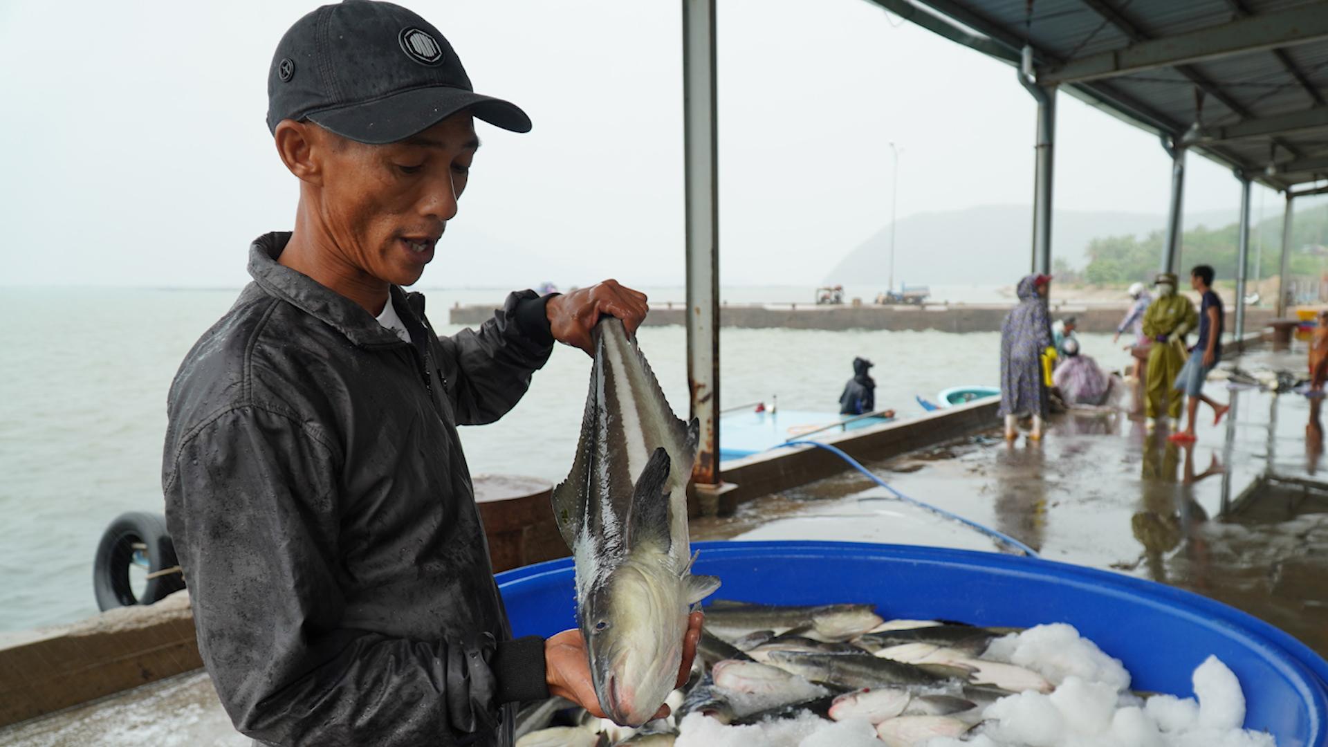 Chủ lồng bè ồ ạt thu hoạch cá bớp trước khi bão Nakri đổ bộ
