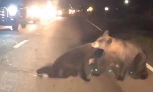 Gấu mẹ liều mạng cứu con bị xe đâm