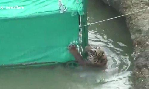 Giải cứu bất thành hổ hoang dã mắc kẹt dưới sông