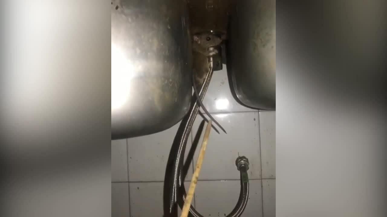Chuột lao vào chủ nhà để thoát thân