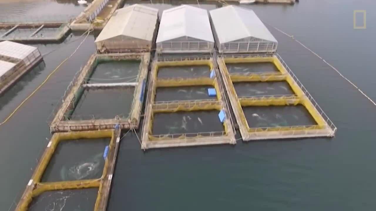 Giải cứu 104 con cá voi tại cơ sở nuôi nhốt bí mật