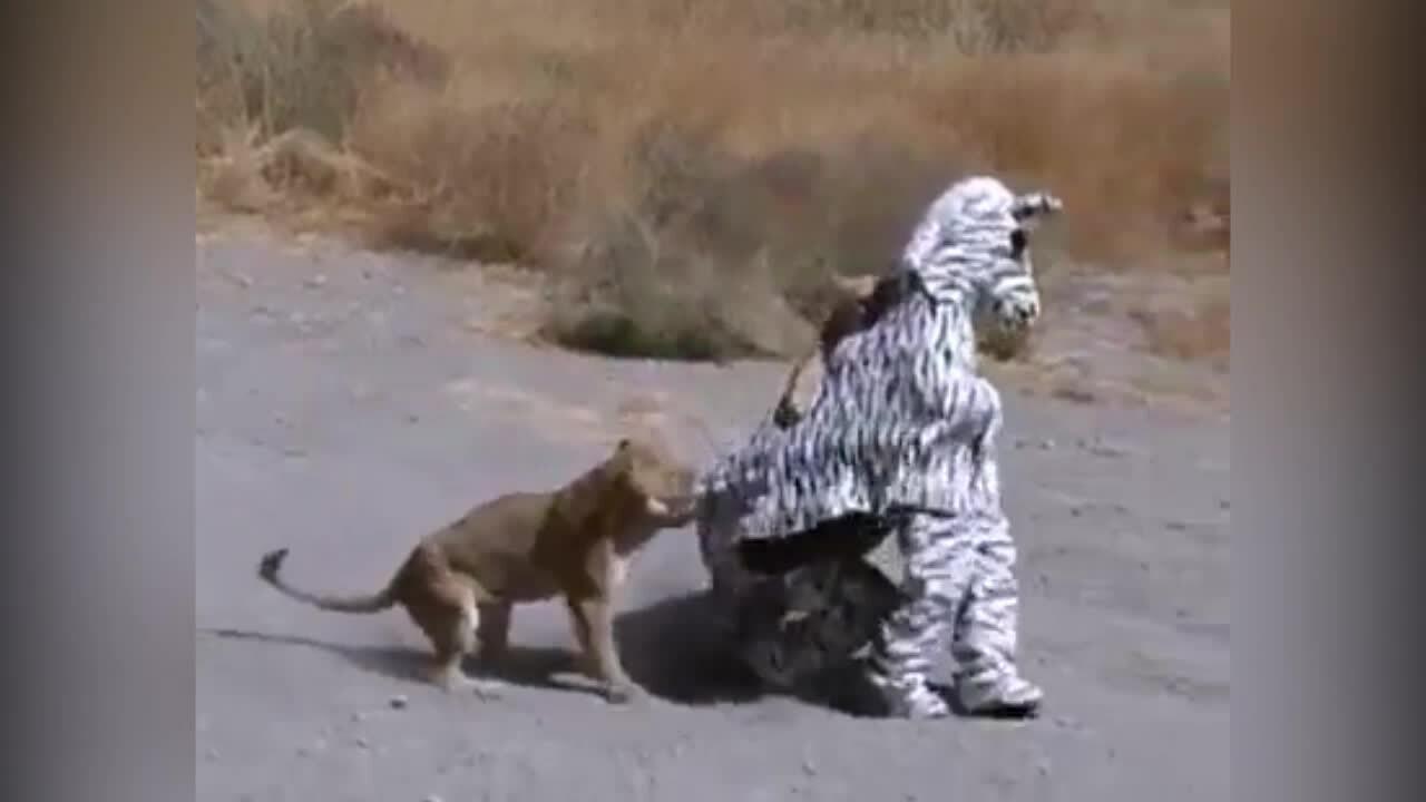 Hai thanh niên bị sư tử vồ khi đóng giả ngựa vằn