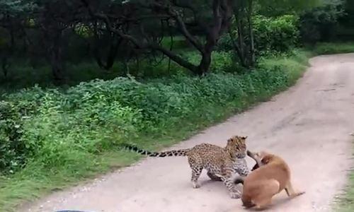 Báo đốm bị mắng té tát vì vồ chó nhà