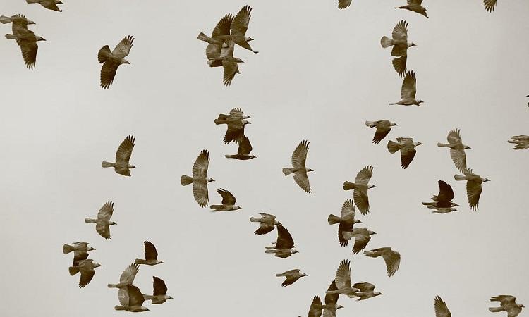 Cách bay thông minh giúp quạ gáy xám đối phó chim săn mồi