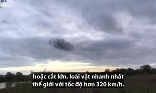 Chim săn mồi tấn công đàn sáo đá hàng nghìn con
