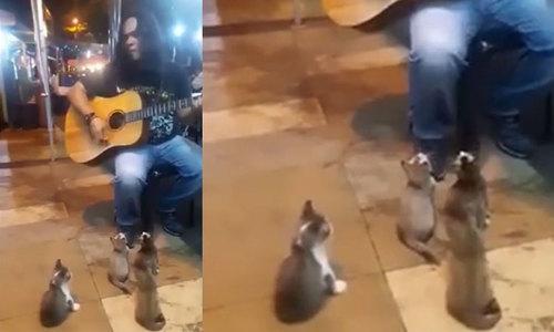 Đàn mèo chăm chú nghe chàng trai đàn hát