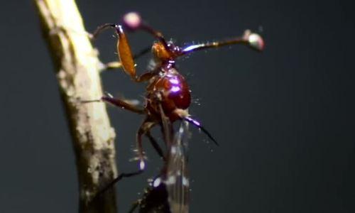 Loài ruồi có cuống mắt như ốc sên