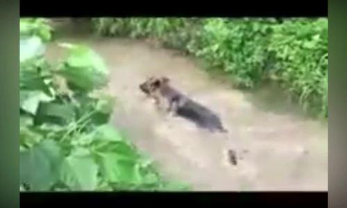 Chó săn ngẩn ngơ vì bị vịt đồng qua mặt