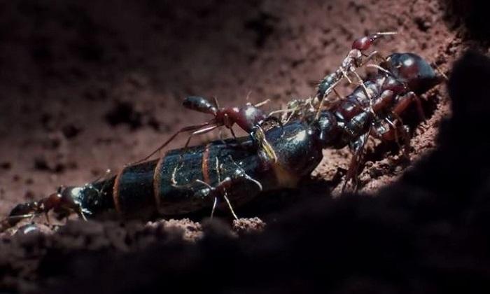 Kiến đực tự cắt đứt cánh để giao phối với kiến chúa