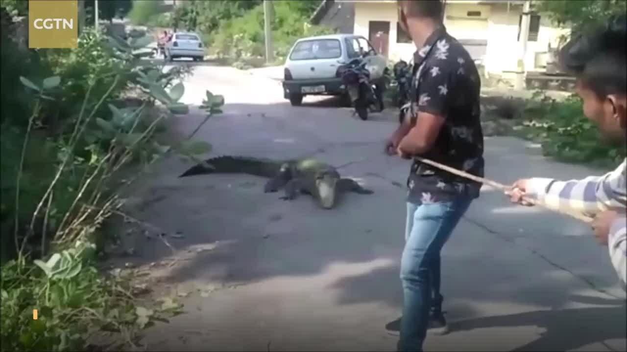 Bắt cá sấu dài gần 3 m trốn trong bụi cây