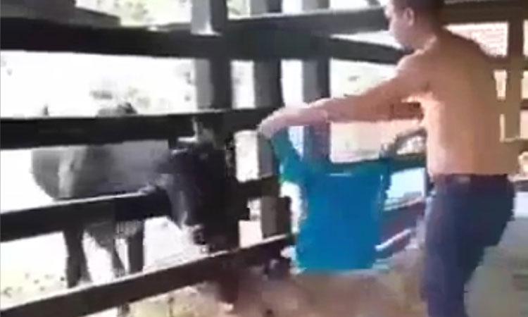 Thanh niên chạy trối chết vì trêu bò