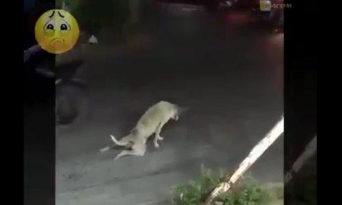Chó bày trò giả tật giữa đường