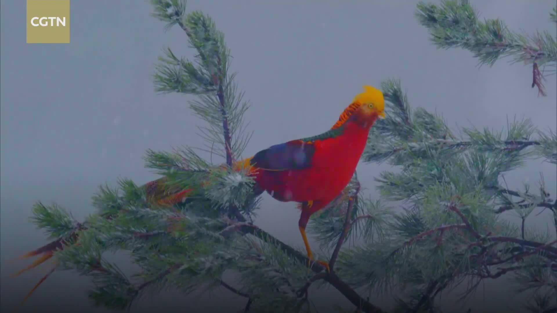 Vẻ đẹp như chim phượng hoàng của trĩ vàng