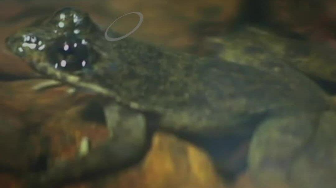 Loài ếch suýt tuyệt chủng vì được coi là thuốc phòng bách bệnh