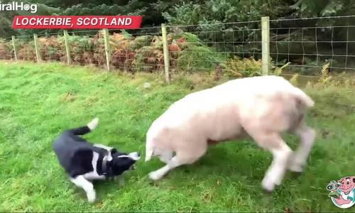 Cừu nổi loạn tấn công chó chăn gia súc