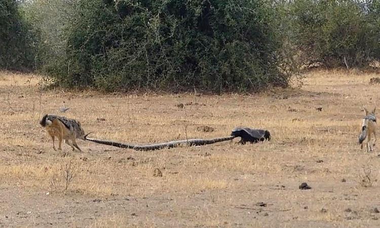 Lửng mật và chó rừng hợp sức đoạt mạng trăn