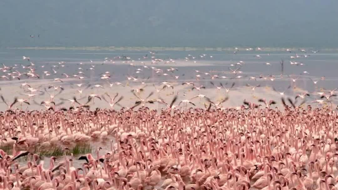 Vùng nước tử thần trở thành thiên đường của chim hồng hạc