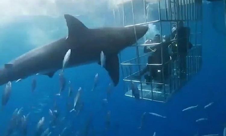 Cá mập trắng mất mạng vì lao vào lồng bảo vệ thợ lặn