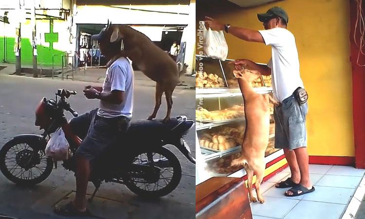 Dê ngồi xe máy mua bánh mì cùng ông chủ