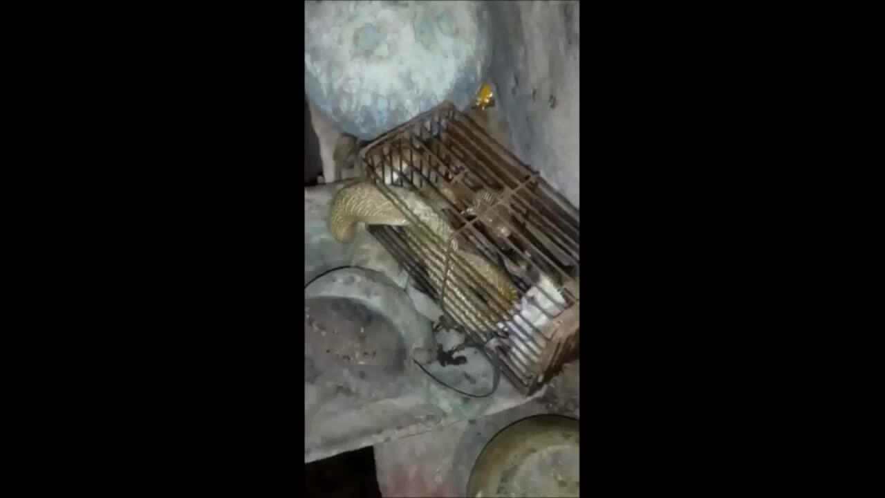 Hổ mang sập bẫy chuột vì mải bắt con mồi