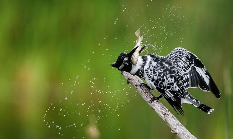 Loài chim lớn nhất có thể lơ lửng nhờ đập cánh