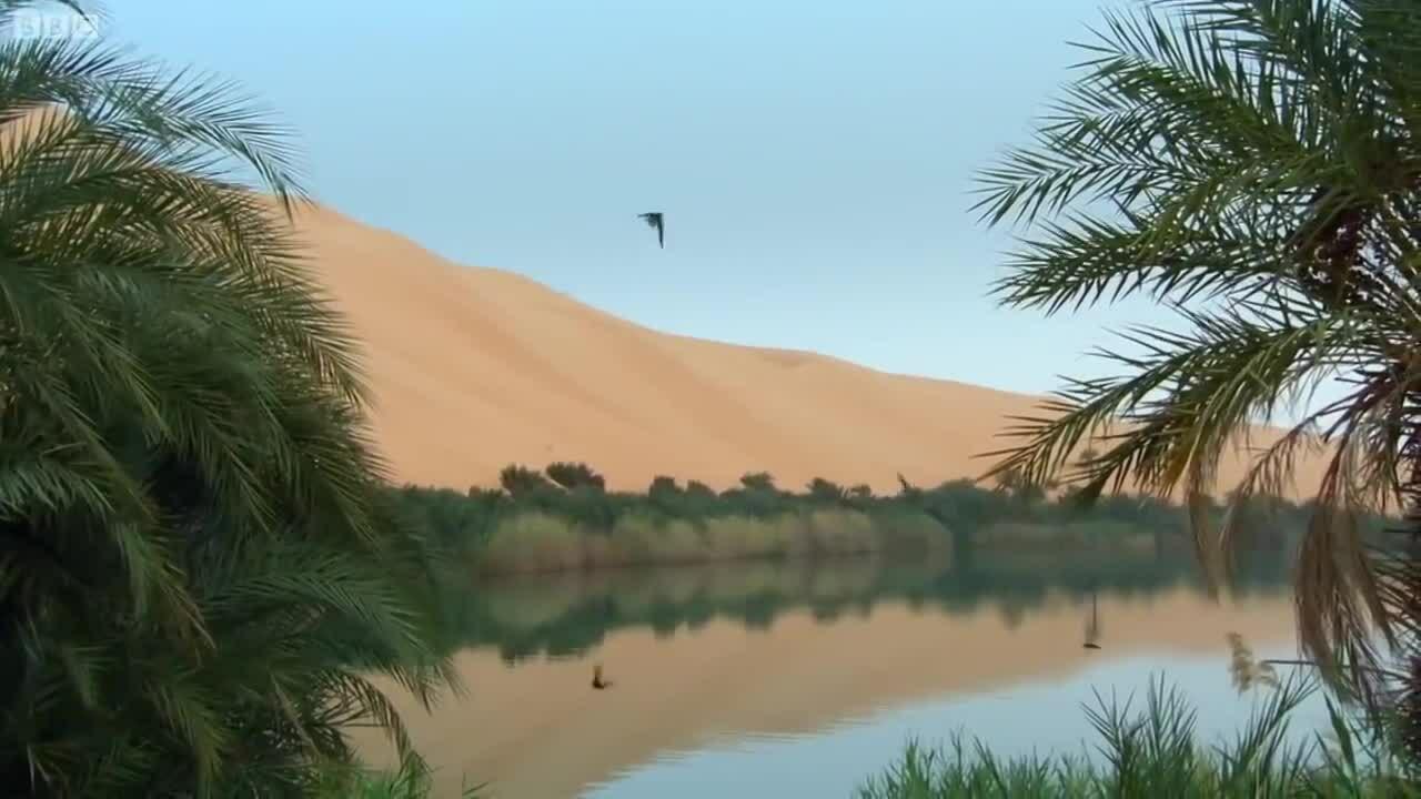 Chim én săn ruồi trên sa mạc để hấp thụ nước