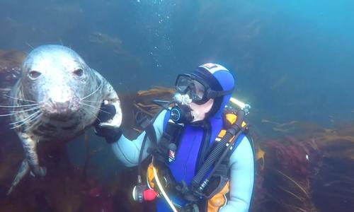 Hải cẩu hiếu kỳ bám chặt lấy thợ lặn