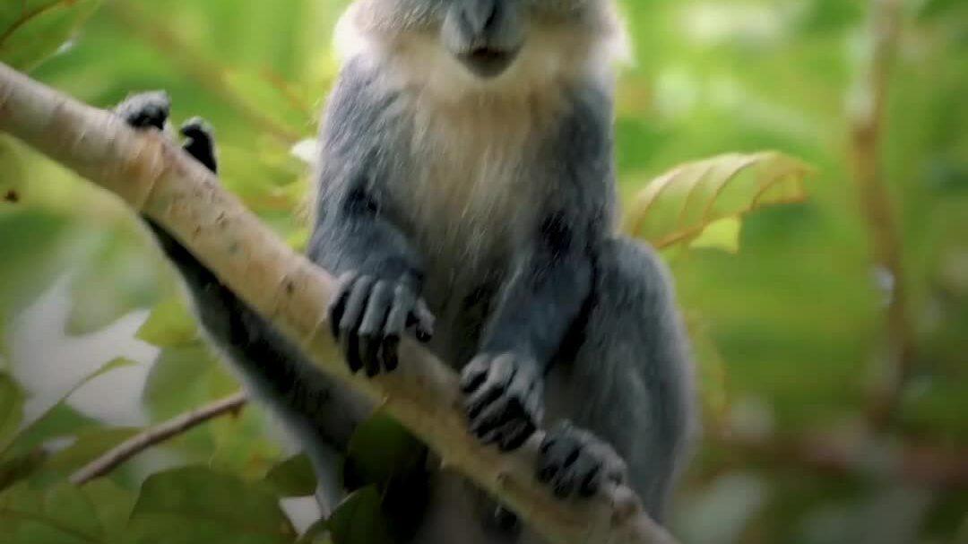 Loài khỉ bị cô lập hàng nghìn năm trên quần đảo Zanzibar